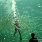 Taucher im Ozeanarium Hirtshals
