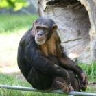 Schimpanse im Aalborg Zoo