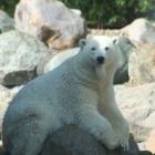 Isbjørn im Aalborg Zoo