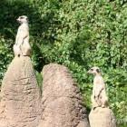 Erdmännchen im Aalborg Zoo