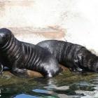 junge Seehunde im Aalborg Zoo