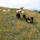 frei laufende Schafe