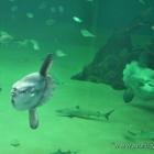 die beiden Mondfische