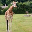 Giraffe auf der großen Freifläche