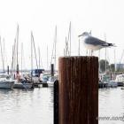 Möwe im Hafen von Burgstaaken
