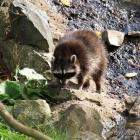 Waschbär im Zoo von Grömitz