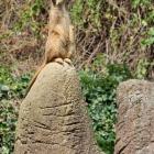 Erdmännchen auf Wachposten