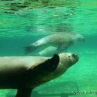 Robben unter Wasser