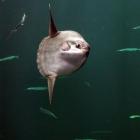 Mondfisch Nummer 1