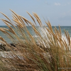 Strandhafer Grenen