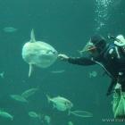 Mondfisch und Taucher