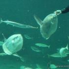 Mondfische