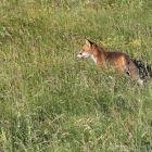 Fuchs Düne