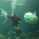 Mondfisch Oceanarium