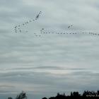 Zugvögel Hvide Sande