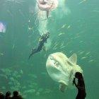 Mondfisch und Taucher im Oceanarium