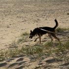 nymindegab_strand_hund_4817